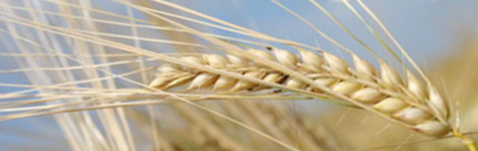 European malting barley in tight supply - Inside Getränke